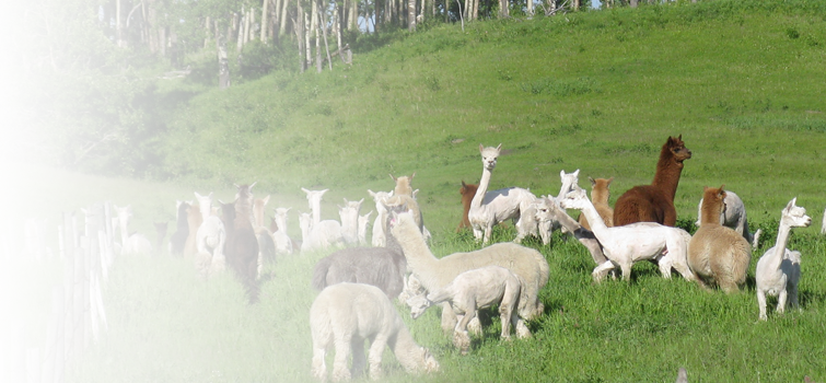alpaca_slider