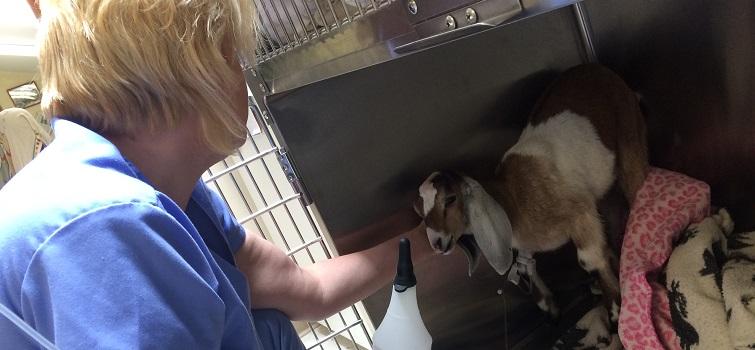shannon-goat